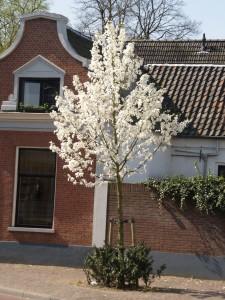 Magnolia kobus (Oisterwijk)