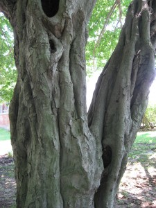 carpinusbetulusbast
